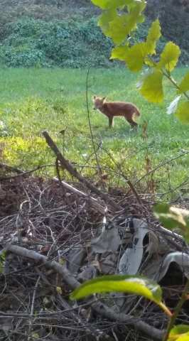 Lisica u Spanskom 2