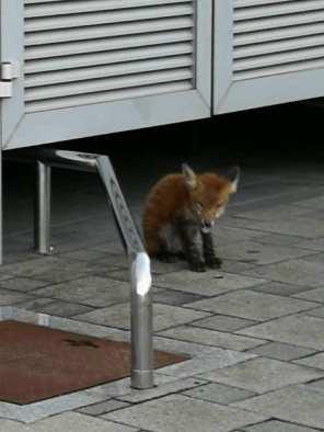 Lisica u Spanskom